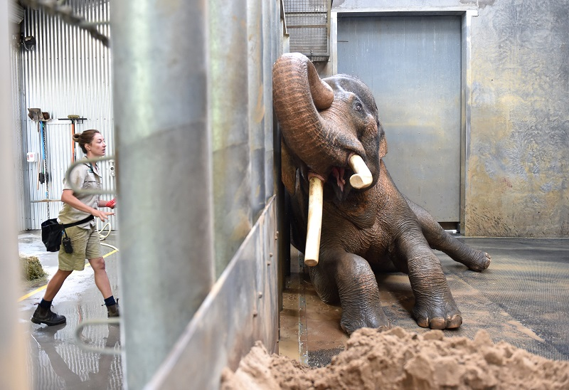 Keeper Lucy Truelson washes Asian Elephant Bull Bong Su as he lies agains the barrier to give her access to his tusk in his enclosure at the Melbourne Zoo in Melbourne, Thursday, March. 3, 2016. Bong Su who is the largest animal in Australia showed media his morning bath time routine ahead of World Environment Day. (AAP Image/Tracey Nearmy) NO ARCHIVING